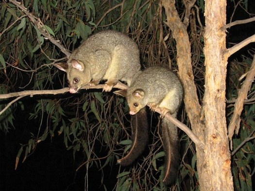 Trichosurus vulpecula or Common Brushtail Possum