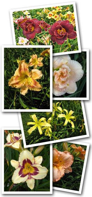 Lowell Ver Heul's daylilies