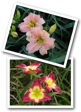 Ver Heul's daylilies